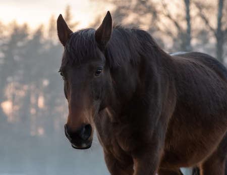 Portrait of beautiful bay horse in rays of winter evening sunset.