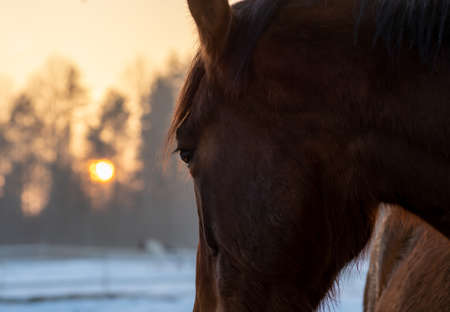 Closeup of beautiful bay horse  looking to the winter sunset behind the forest.