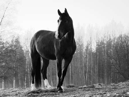 Monochrome image of portrait of beautiful black horse with white blaze.