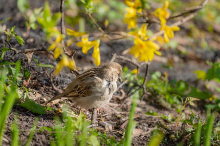 House sparrow female perched on a ground in grass under blooming yellow forsythia branch on sunny spring day