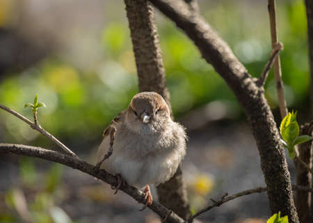 House sparrow perched on a branch of bush on sunny spring day
