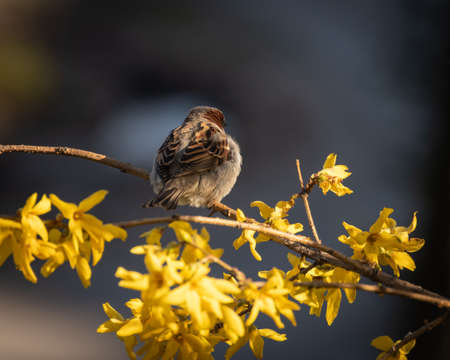 House sparrow perched on a branch of blooming yellow forsythia in park Banco de Imagens