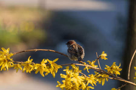 House sparrow perched on a branch of blooming yellow forsythia in Bastejkalns park, Riga