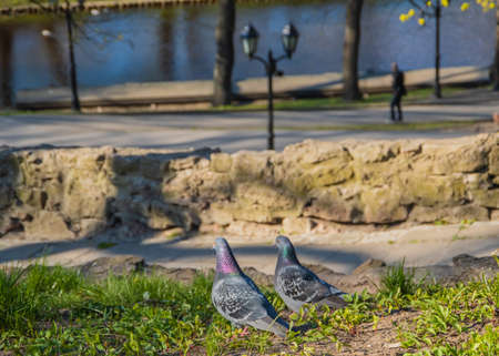 Two domestic pigeons perched on the green grass of Bastion Hill in Bastejkalns park in Riga