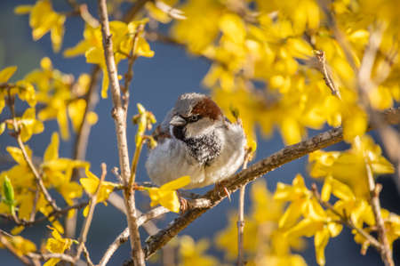 House sparrow perched on a branch of blooming yellow forsythia