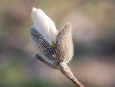 Closeup of white magnolia tree bud Banco de Imagens
