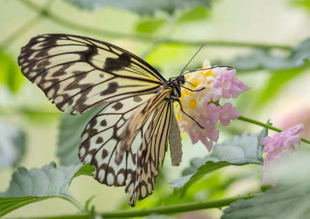 Closeup of paper kite butterfly (Idea Ieuconoe) perched on the pink and yellow flower