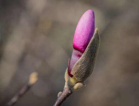 Pink magnolia tree bud on a branch