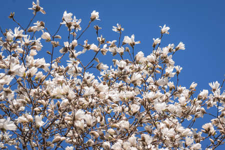 Blooming white magnolia tree against clear blue sky
