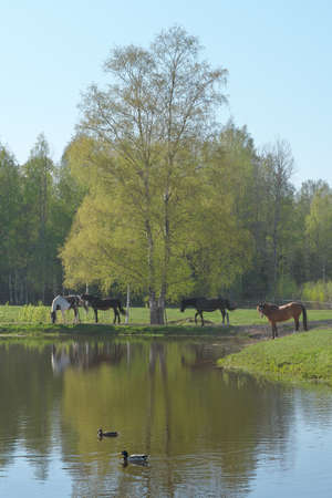Misty landscape with herd of horses grazing in green pasture under green birch tree