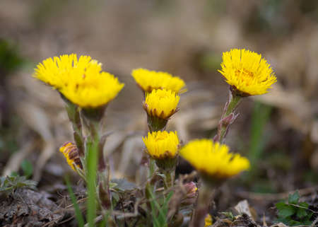 Closeup of bunch of yellow coltsfoot flowers growing in the green grass