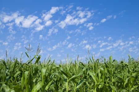 Green corn field with blue sky photo