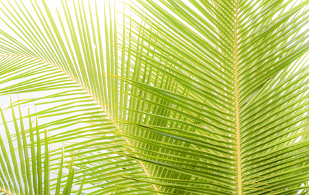 Green leaves of palm tree isolated on white background. Stock Photo