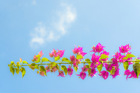 pink bougainvilleas with blue sky white cloud low angle. Stock Photo