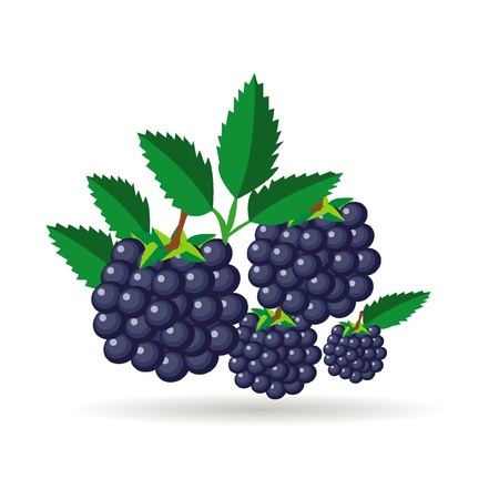 bramble: blackberry fruit Illustration