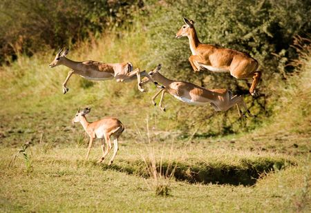 impala: Leaping impala and puku Stock Photo