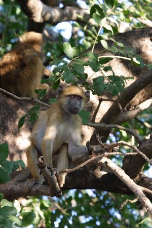 Baboon in sausage tree Stock Photo