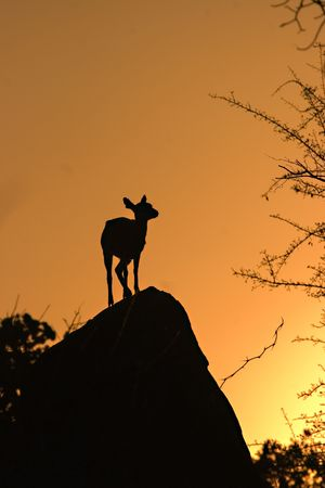Klipspringer relaxing on a rock Stock Photo