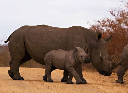Rhino with calf Stock Photo