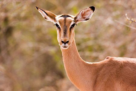 kruger national park: Impala in Kruger National Park Stock Photo