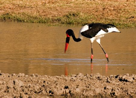 Saddle-billed stork Stock Photo - 577199