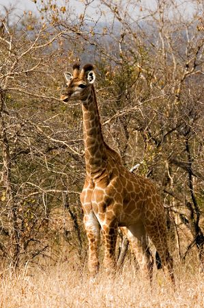 giraffe in Kruger National Park photo