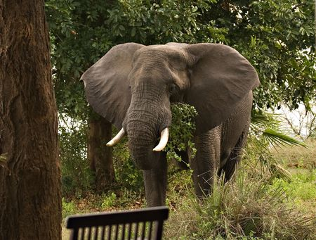 Elephant visiting a lodge in Zambia Stock Photo