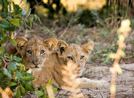 Lion cubs hiding behind bushes