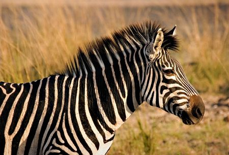 Zebra in South Luangwa National Park Stock Photo
