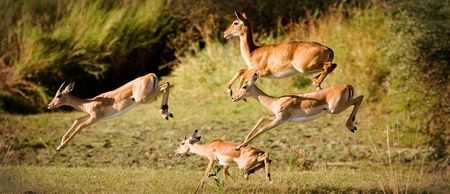 Impala herd jumping for safaty