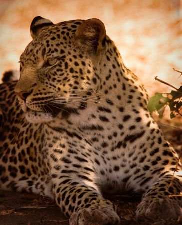 Leopard lying in shade Stock Photo