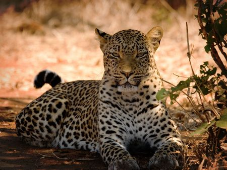 Leopard in zambia Stock Photo