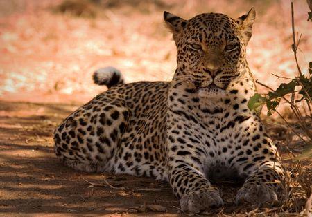 Leopard Stock Photo - 577073