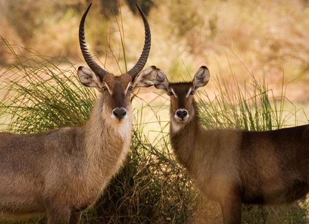 Waterbuck couple Stock Photo