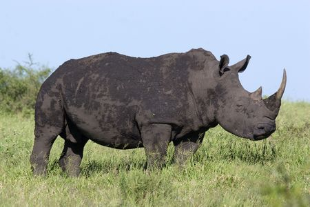 herbivore natural: white rhino in kruger national park South Africa Stock Photo