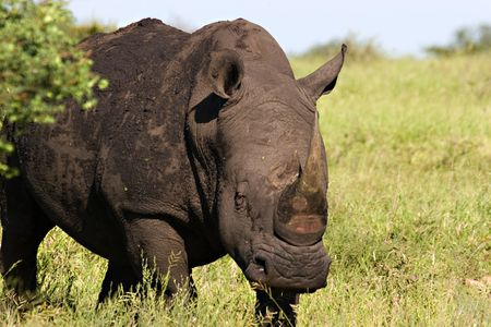 White rhino in Kruger National Park South Africa Stock Photo - 729144