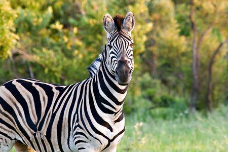 Zebra in summertime in kruger national park