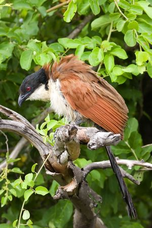 Burchells coucal in the Kruger National Park South Africa Stock Photo
