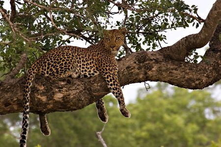 Leopard in a tree in Kruger Park South Africa photo