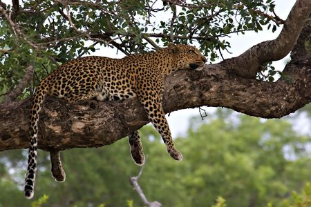 leopard resting in a tree Stock Photo - 729139