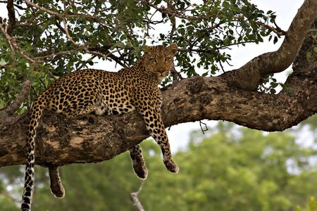 Leopard (panthera pardus) in a tree in Kruger Park Stock Photo - 729138