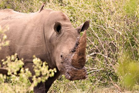 White rhino in Kruger Park South Africa