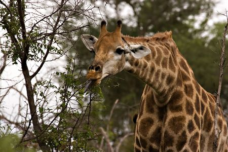 Giraffe browsing in Kruger National Park Stock Photo - 731653