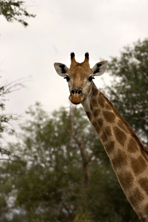 giraffe in kruger national park Stock Photo - 731654
