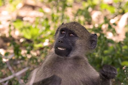 baboon in Kruger National Park South Africa