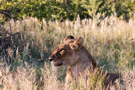 Lioness in Kruger National Park South Africa Stock Photo - 731660