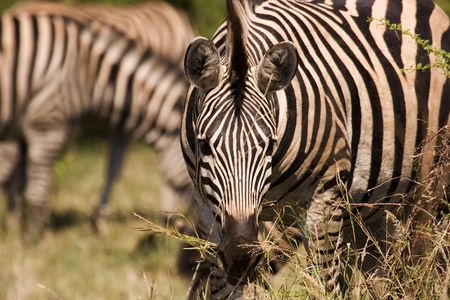 Zebra grazing in Kruger National Park South Africa Stock Photo