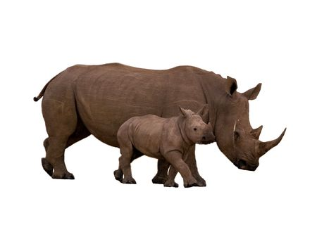 Rhino with calf isolated on white Stock Photo