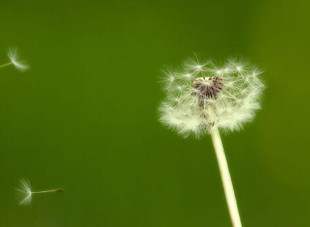 Blurry dandelion with green background