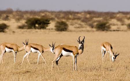 Springbok in Central Kalahari Game Reserve Botswana